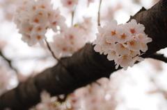 三沢川の桜_2