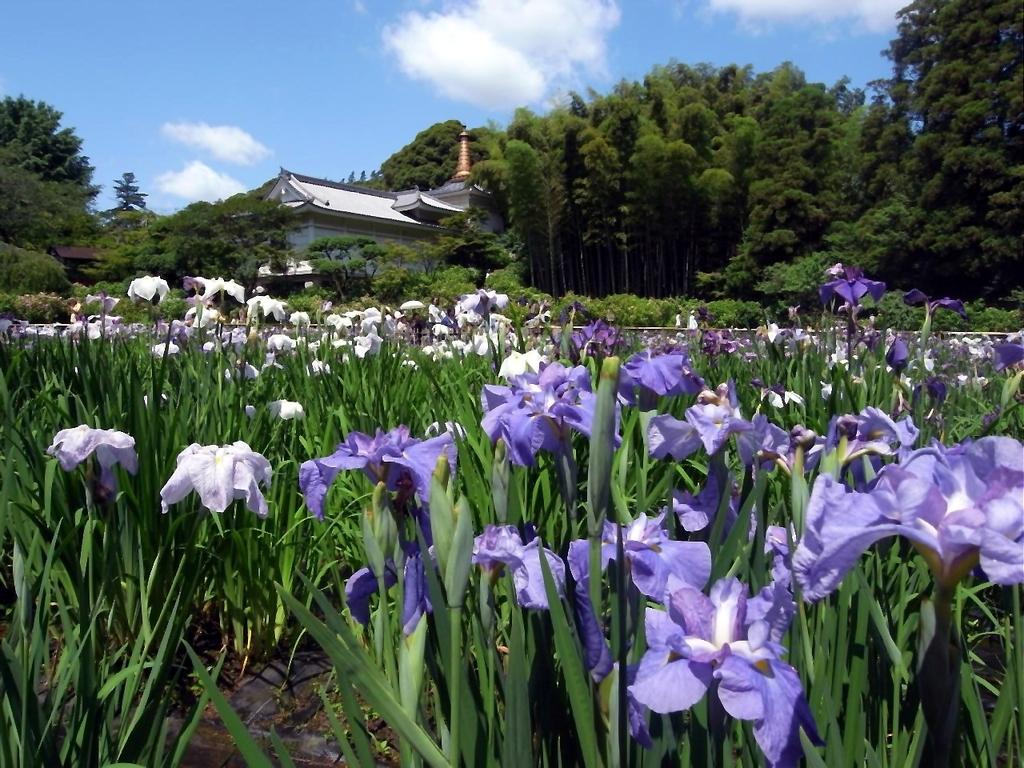 松戸市の本土寺菖蒲園
