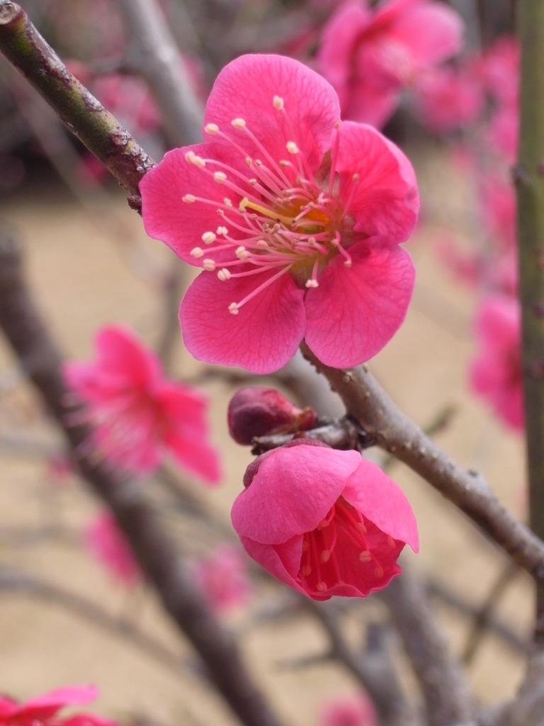 2009_0301GX200梅の花