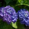 庭の紫陽花(青)