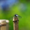 蜻蛉、翅を休め紫陽花を眺める