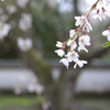 家康公の枝垂れ桜
