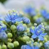 額紫陽花の花