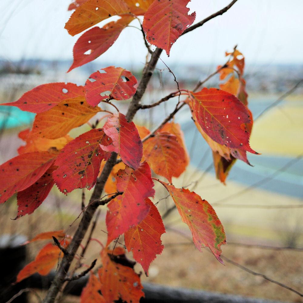 曇天下の紅葉