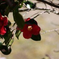 CANON Canon EOS Kiss X2で撮影した植物(椿)の写真(画像)