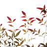 CANON Canon EOS Kiss X2で撮影した植物(南天)の写真(画像)