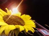 真夜中の向日葵