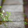 SONY DSLR-A200で撮影した植物(アスファルトに咲く花)の写真(画像)