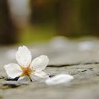 SONY DSLR-A200で撮影した植物(sakura)の写真(画像)