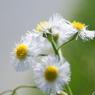 SONY DSLR-A200で撮影した植物(てんでばらばらに)の写真(画像)