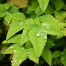 SONY DSLR-A200で撮影した植物(雨露を受けて)の写真(画像)