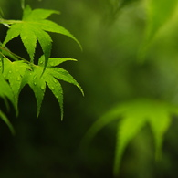 SONY DSLR-A200で撮影した植物(雨上がりのもみじ)の写真(画像)