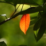 SONY DSLR-A200で撮影した植物(紅一点)の写真(画像)