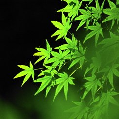 SONY DSLR-A200で撮影した植物(これはモミジ・・・??)の写真(画像)
