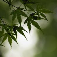 SONY DSLR-A200で撮影した植物(水もしたたる良いもみじ)の写真(画像)