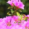 SONY DSLR-A200で撮影した植物(つつじの花束)の写真(画像)