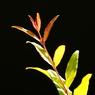 SONY DSLR-A200で撮影した植物(プリマドンナ)の写真(画像)