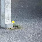 SONY DSLR-A200で撮影した植物(こんにちは。たんぽぽです)の写真(画像)