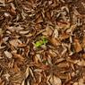 SONY DSLR-A200で撮影した植物(枯葉の中からこんにちは。)の写真(画像)