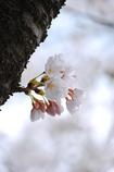 小さく咲くラ