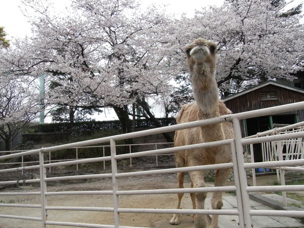 桜とらくだのはま子ちゃん