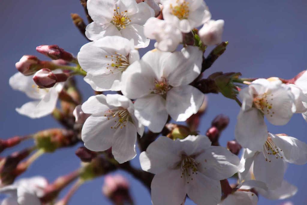 岐阜市内の桜