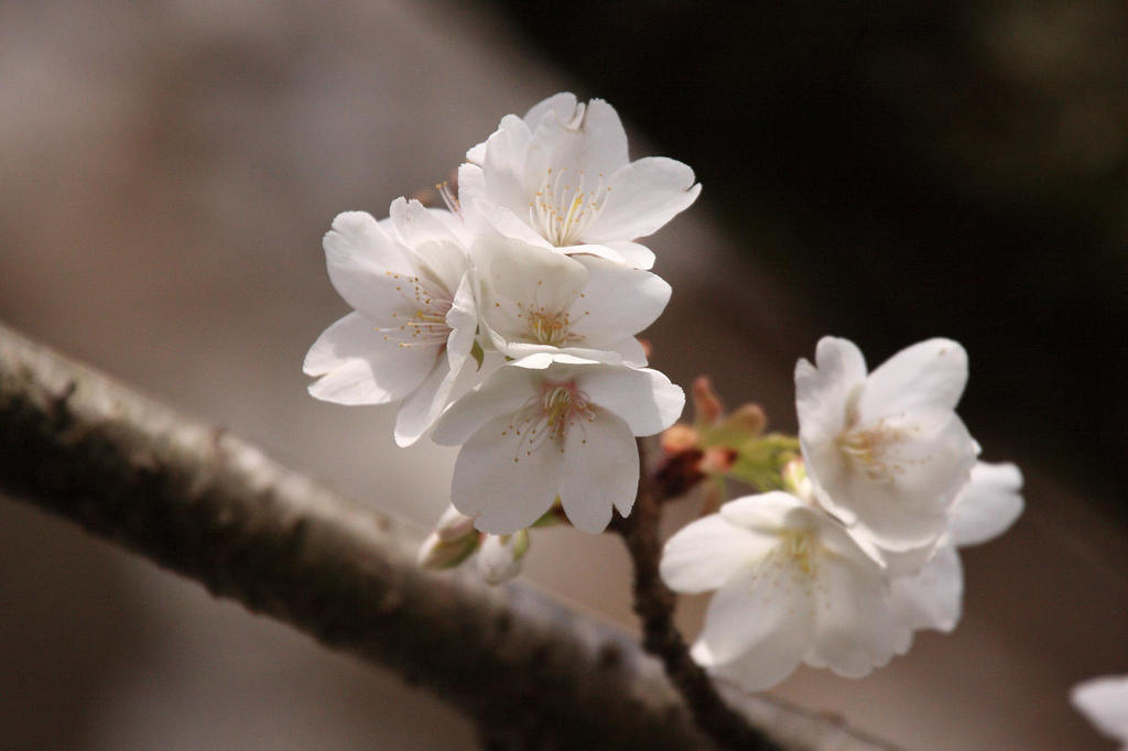 すでに満開 早咲きの桜
