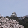 岐阜城と桜