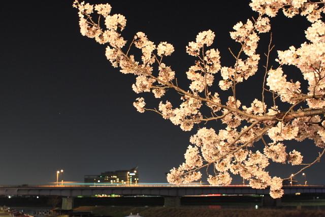 長良川提の桜