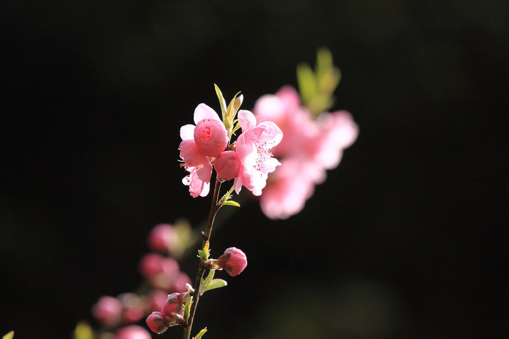 岐阜公園 早咲きの桜