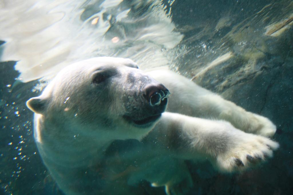 白クマのダイブ2