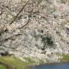 桜のウエーブ