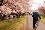 桜と人と自転車