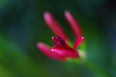 ヒガンバナ もうすぐ開花