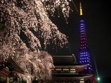 増上寺枝垂桜と東京タワー