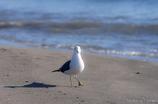 渚のうみねこ
