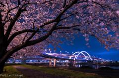 五色桜大橋とサクラ