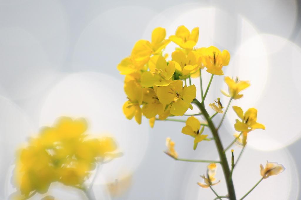 菜の花キラリ