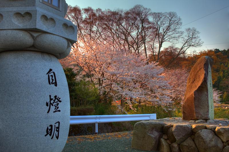 自燈明と桜