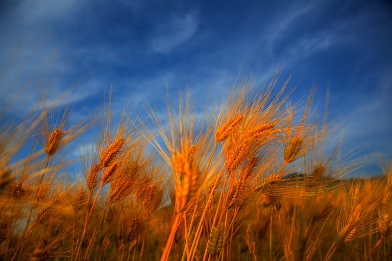 ライ麦畑でつかまえて