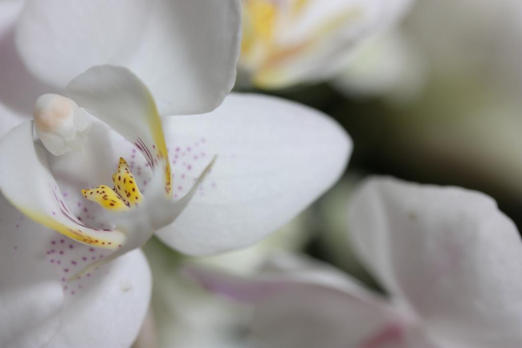 豹柄を纏いし、白い花