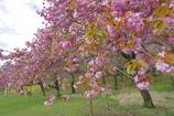 遅れて咲く八重桜