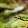 サンコウチョウ(雌)DSC1024