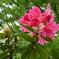 石楠花開花