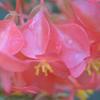木立性ベゴニア(斑入り) 雌花