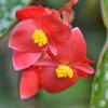 木立性ベゴニア(斑入り) 雄花