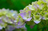 紫陽花の季節始まる