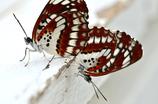 蝶・恋の季節