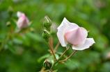 ライトピンクの薔薇
