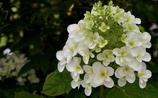 八重柏葉紫陽花